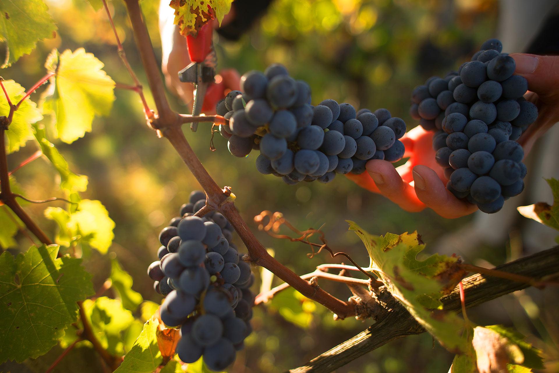 Art Russe Saint-Emilion Grand Cru is presented on the British wine market
